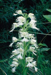 Native Northern Orchids