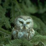 Ales and Owls: St. Croix River Saw Whet Owl Study