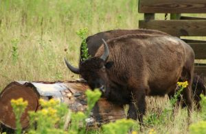 Bison Buggy Rides at Belwin Conservancy