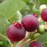 Selecting Native Trees & Shrubs for Birds & Pollinators