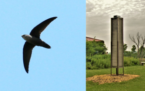 All About Chimney Swifts